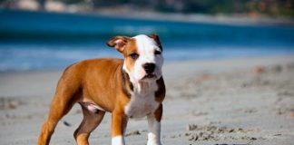 perro Pitbull en casa